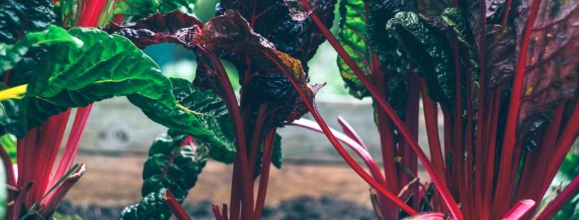 Mangold-Rezept-Essen-gesund-Immunsystem-Vitamine